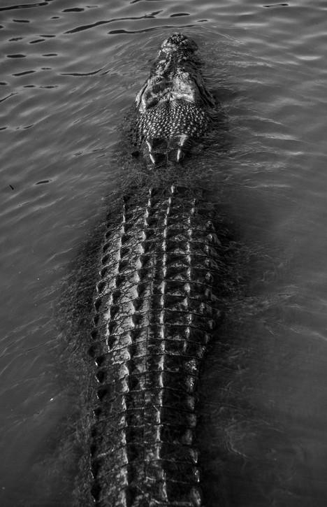 Wildlife - Estaurine Crocodile