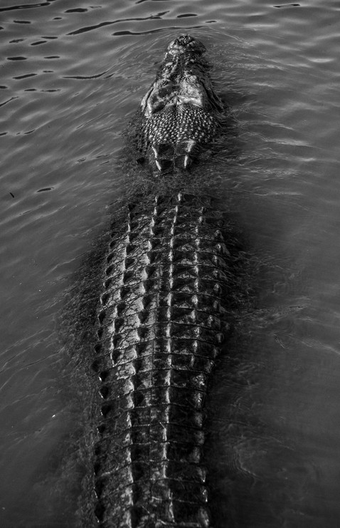 Nature - Estaurine Crocodile, Kakadu
