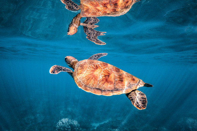 Tropical Oceans - Turtle Reflection
