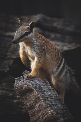 Wildlife - Numbat Lookout