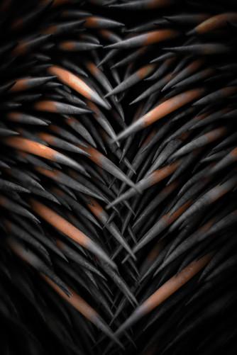 Nature - Echidna Spines, Dryandra