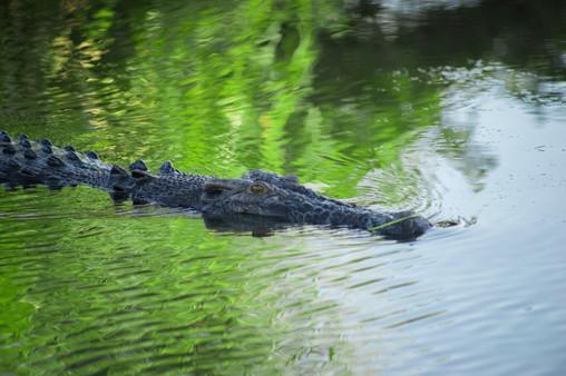 Nature - Crocodile, Kakadu
