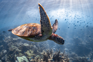 Tropical Oceans - Turtle Sunset