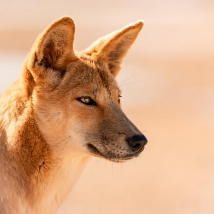 Wildlife - Dingo Portrait