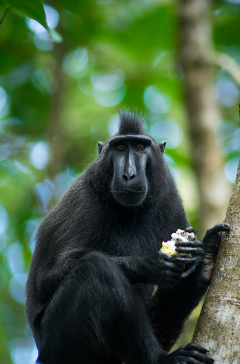 Nature - Black Macaque, Sulawesi