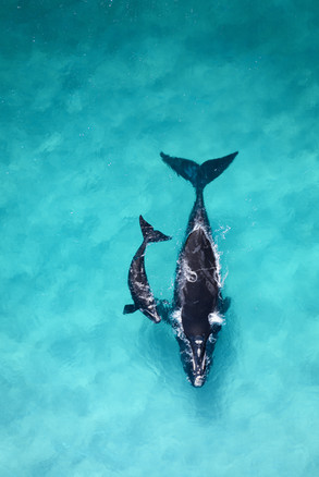 Tropical Oceans - Southern Right Whales