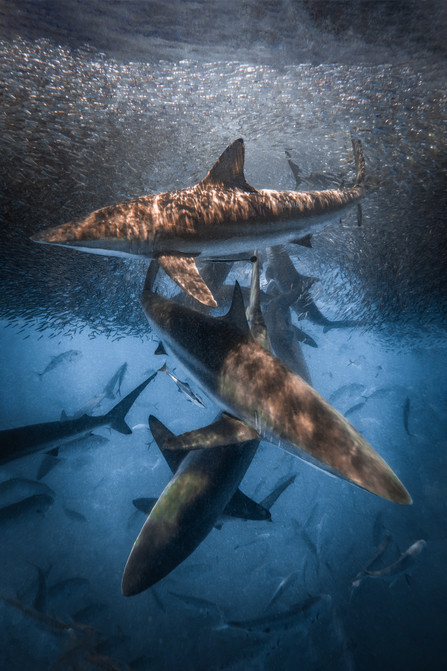Ocean - Shark Trio