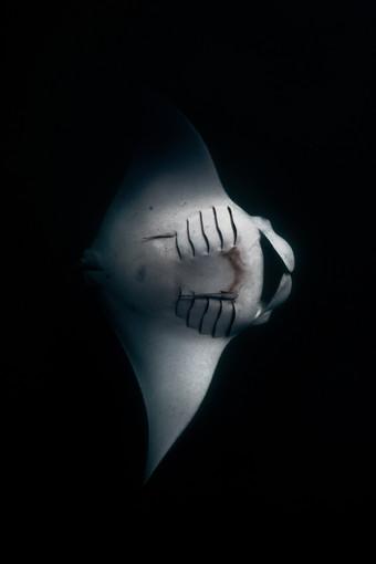 Ocean - Manta shade