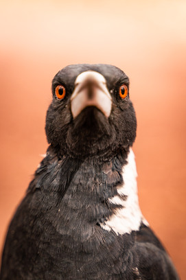 Nature - Magpie, Flinders Ranges