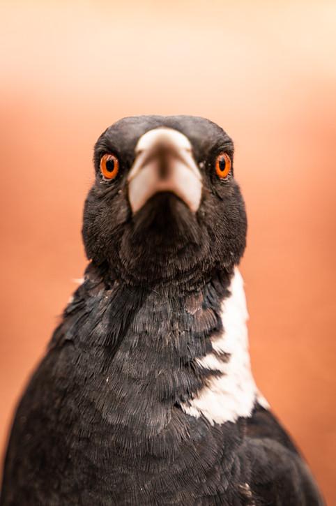 Wildlife - Magpie