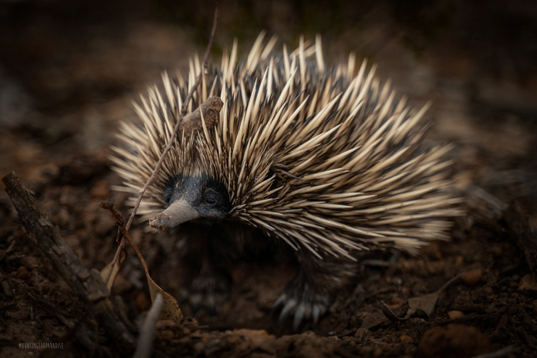 Nature - Echidna, Australia