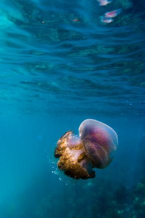 Tropical Oceans - Jellyfish