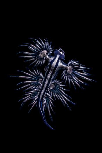 Ocean - Blue Dragon