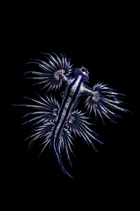 Deep Oceans - Blue Dragon