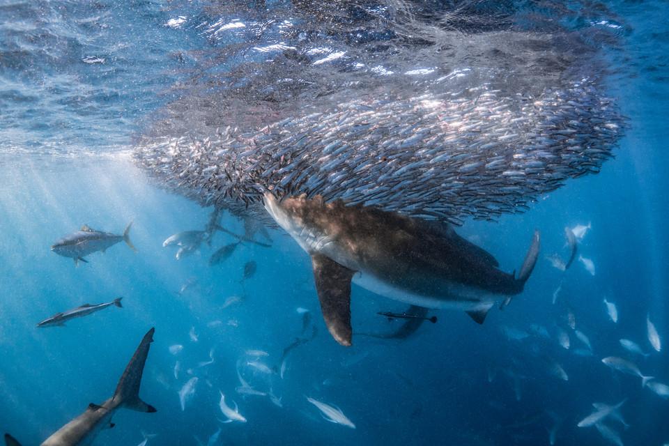 Tropical Oceans - Whaler Baitball