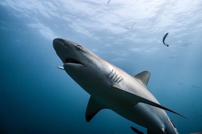 Ocean - Grey Reef Shark