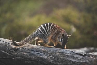 Wildlife - Numbat on Log