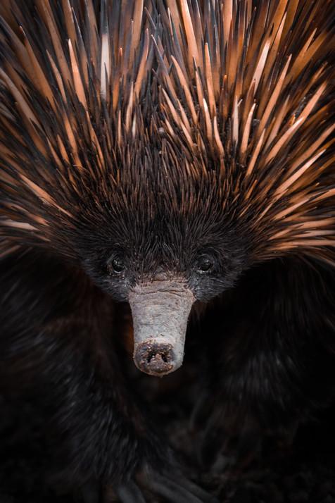 Wildlife - Echidna Portrait