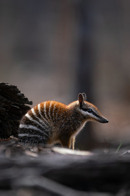 Wildlife - Numbat Backlit