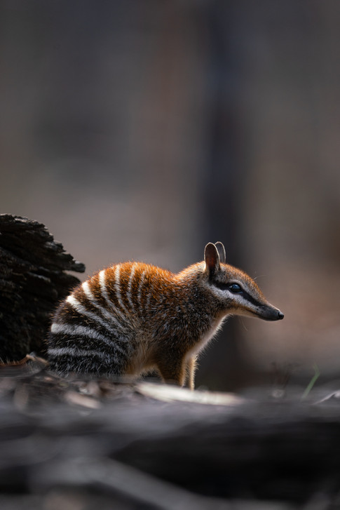 Nature - Numbat, Dryandra