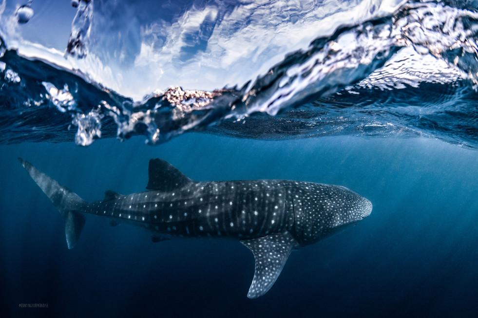 Whale shark split shot