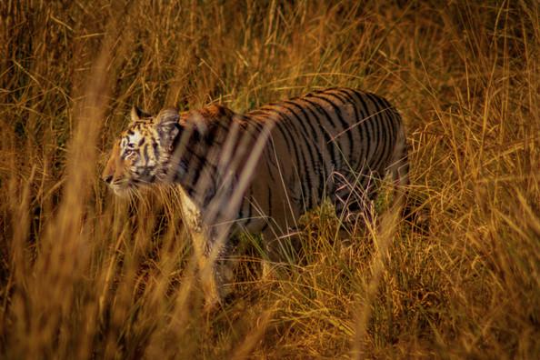 Nature - Tiger, Dhikala