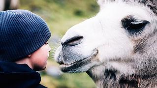 THE ARCTIC CAMELS.jpg