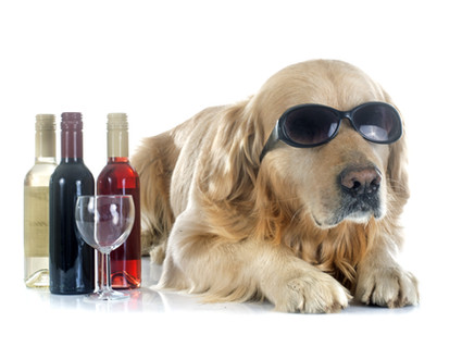purebred golden retriever and bottle in front of a white background.jpg