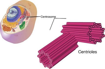UTASA - Centriole - Spermatozoïde