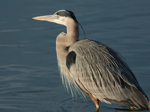 Everybody Loves Herons