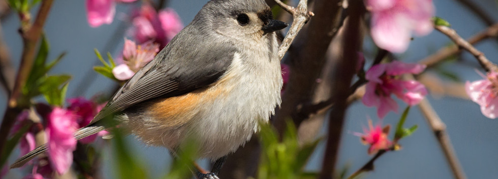 Titmouse and Peach Blossoms