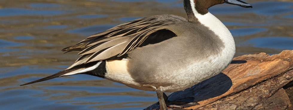 Picture Perfect Pintail