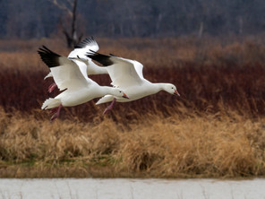 Snow Geese Return to Texas