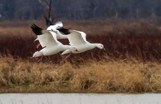 Snow Geese Return to Texas