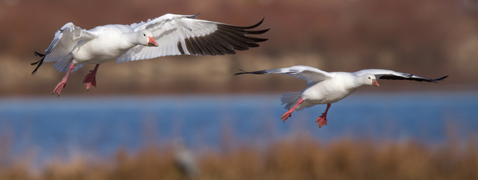 Floating Snow Geese
