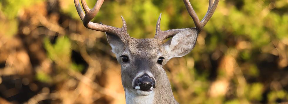 Buck Standing Tall