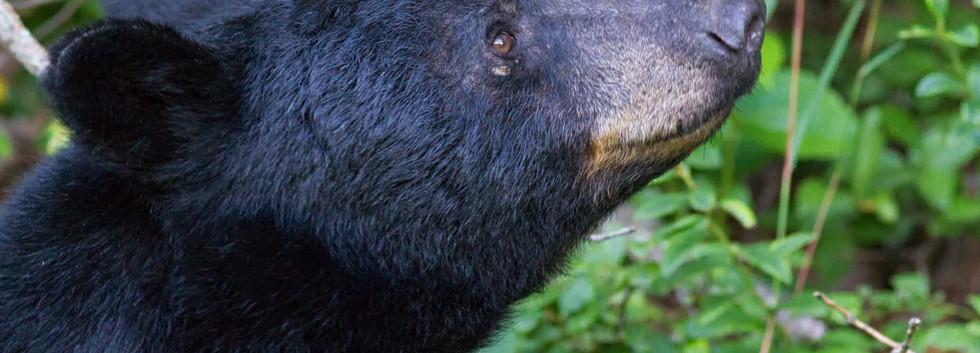 Smiling Black Bear.jpg