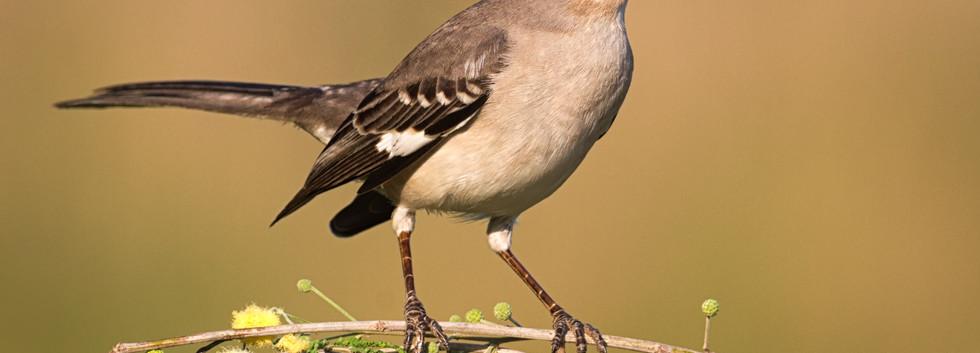 Mockingbird Up Close