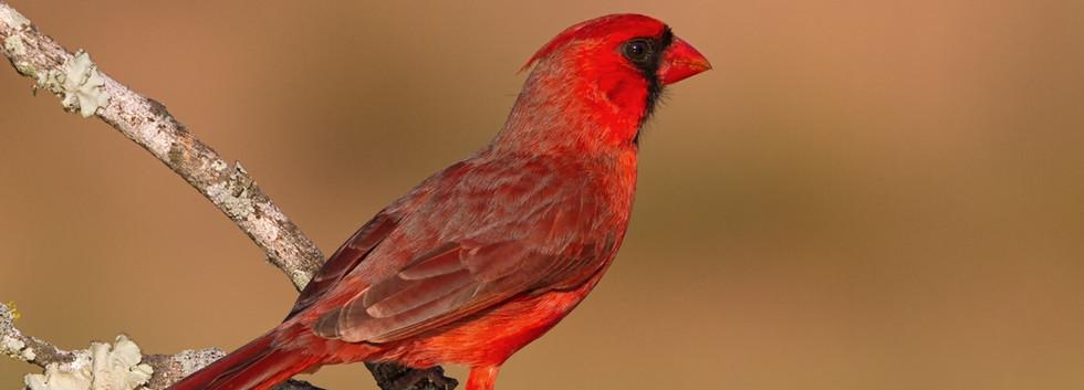 Texas Cardinal