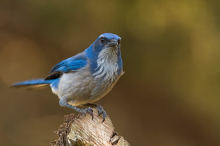 Hanging With the Scrub Jays