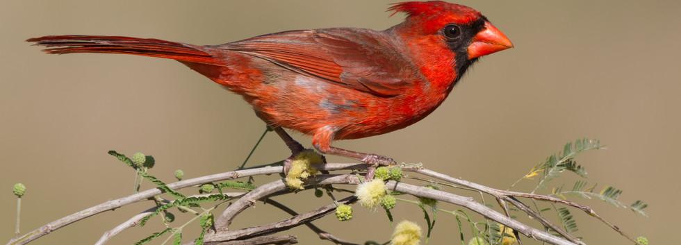 South Texas Cardinal