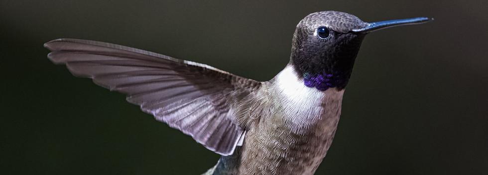 Hill Country Hummingbird