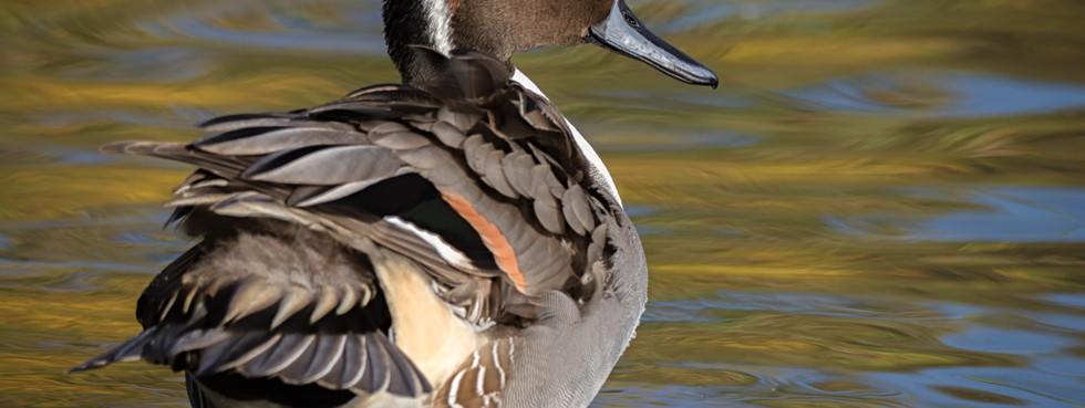 Majestic Pintail