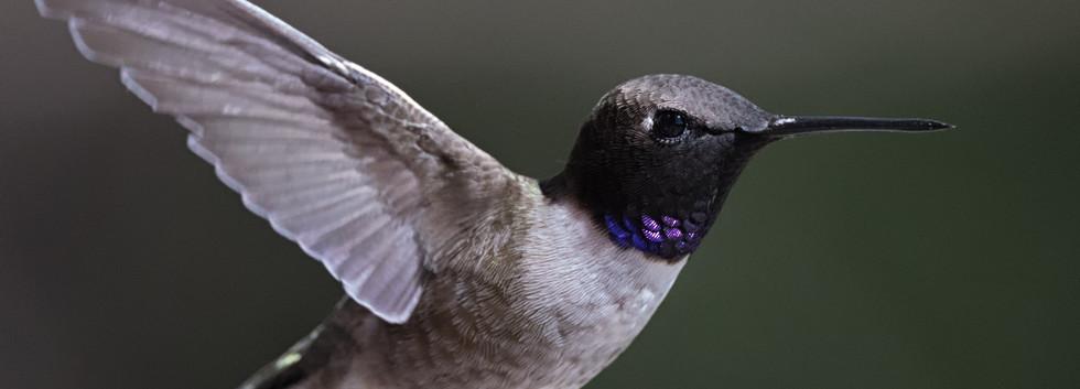 Texas Black-chinned Hummingbird