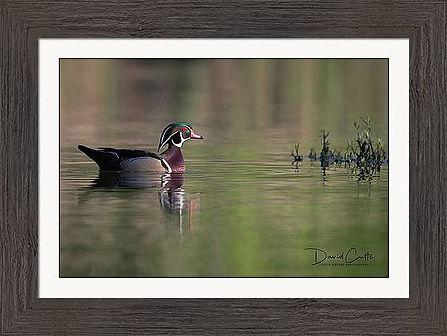 wood-duck-reflections-david-cutts (1).jp