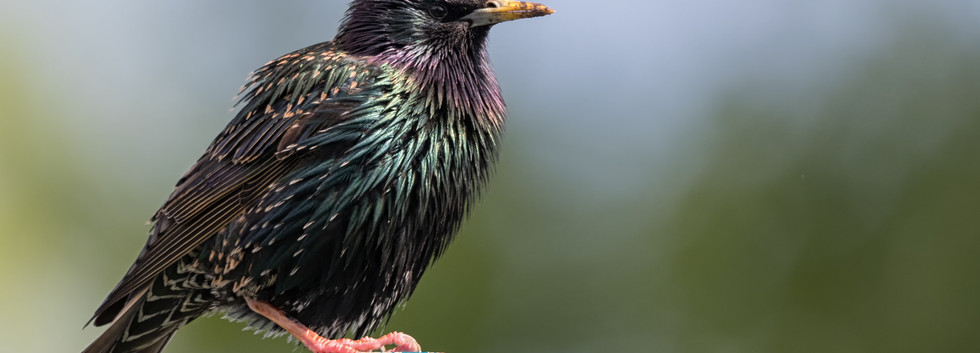 Texas Starling