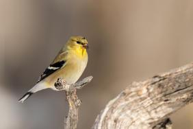 Winter Goldfinch