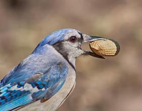 Nutty Blue Jay