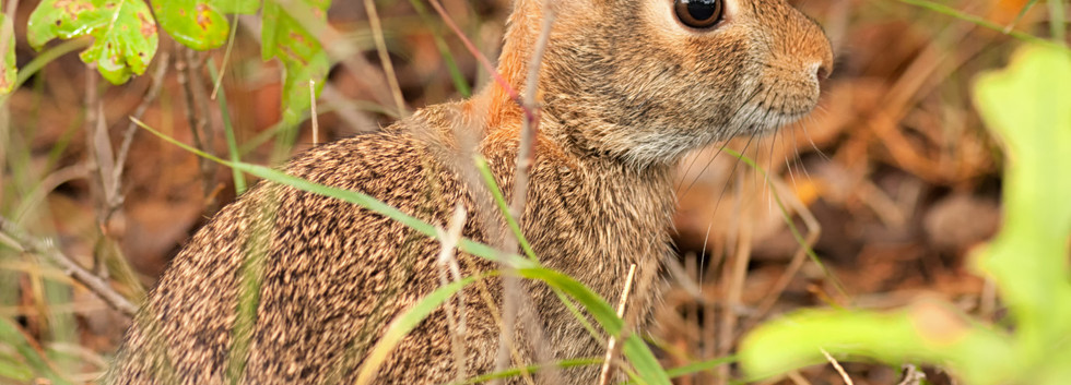 Cottontail in Hiding