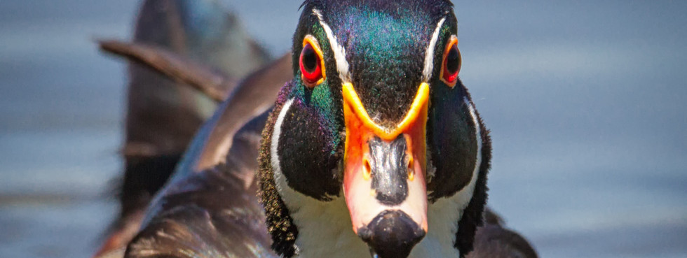Wood Duck Face First